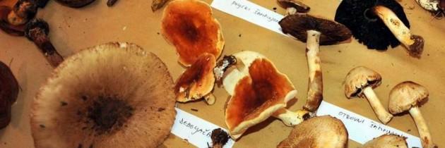 Gljive u Povljima