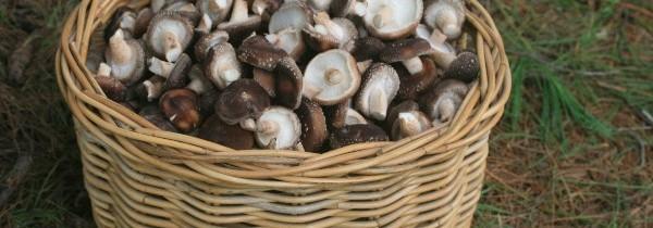 Upute za ubiranje gljiva za determinaciju
