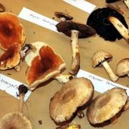 Sve o gljivama Brača!